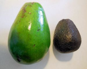 Florida Avocado is on the left a traditional Hass Avocado is on the right.